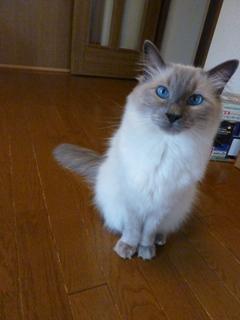 猫のお友だち たまくんsavaちゃん編。_a0143140_20444532.jpg