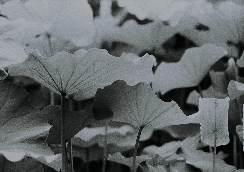 lotus_b0170947_2271277.jpg