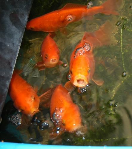 金魚の世代交代_c0180460_1027898.jpg