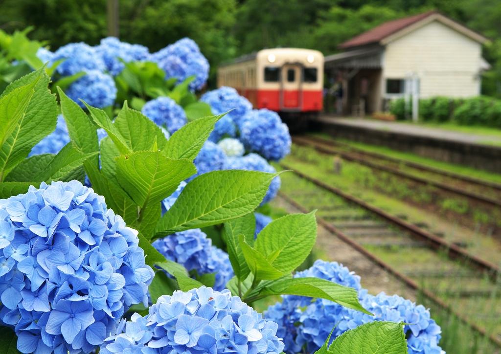 小湊鐵道・紫陽花情報_f0018464_21281027.jpg