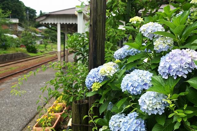 小湊鐵道・紫陽花情報_f0018464_216416.jpg