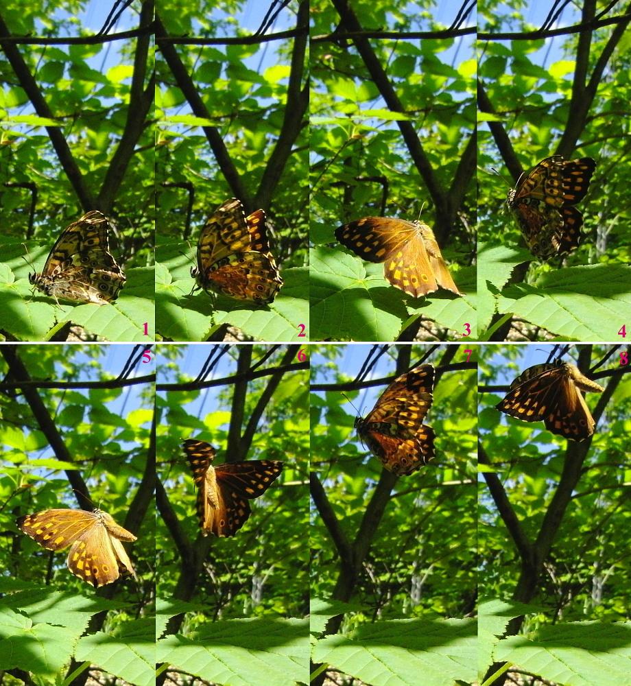 ヤマキマダラヒカゲ 翅裏マクロ画像  2010.6.5長野県_a0146869_650230.jpg
