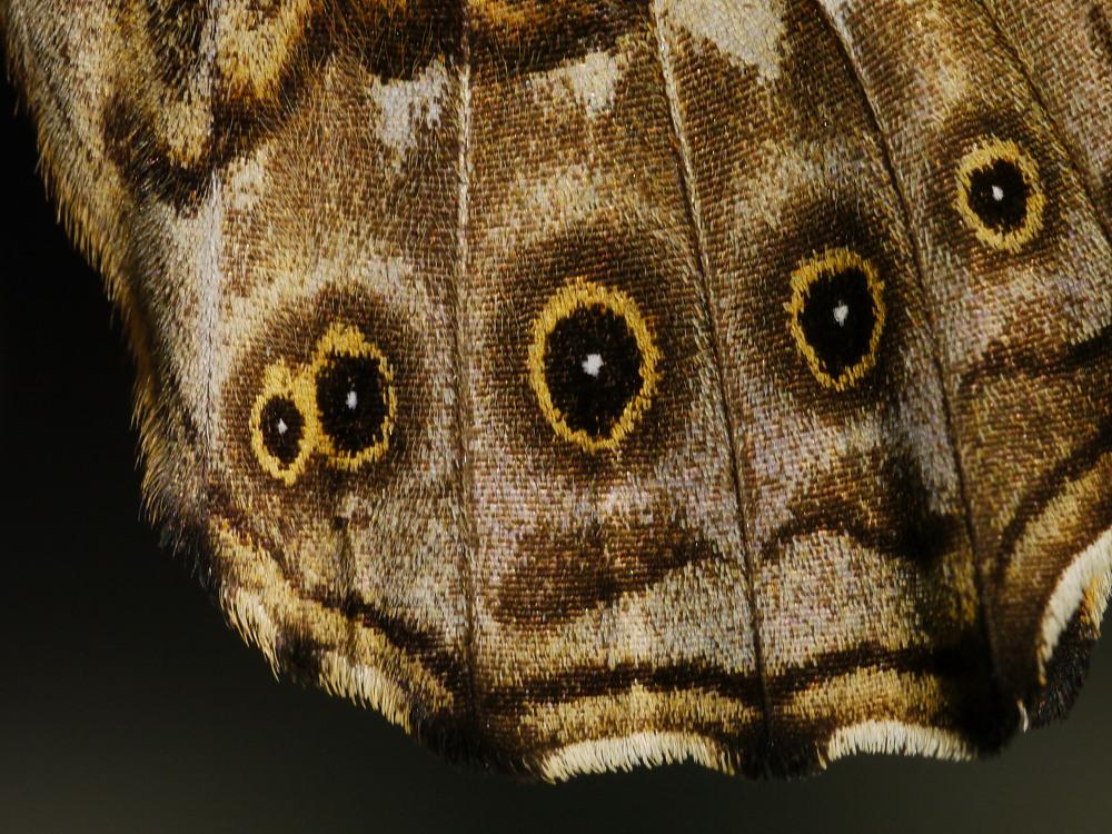 ヤマキマダラヒカゲ 翅裏マクロ画像  2010.6.5長野県_a0146869_6505354.jpg