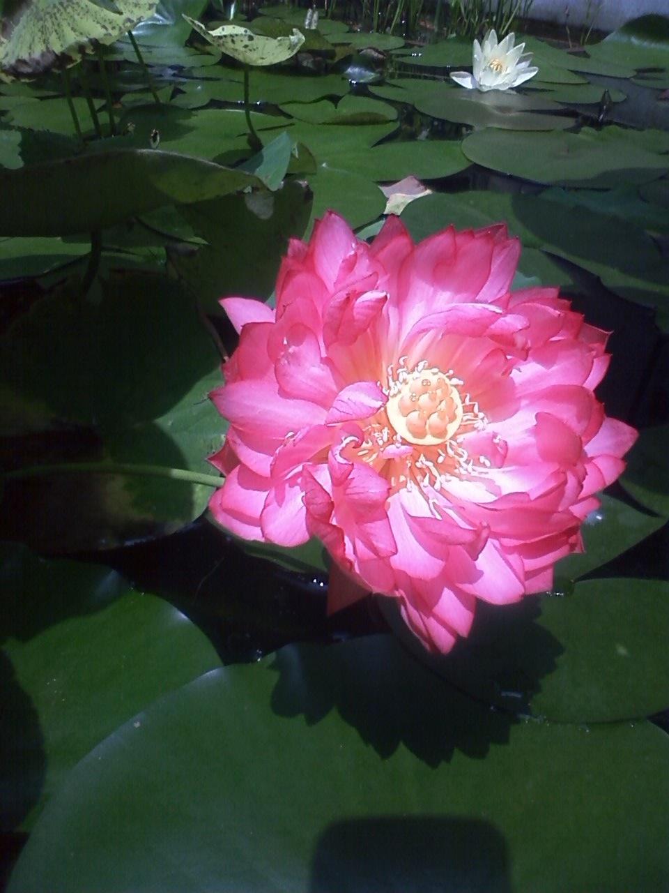 蓮の花とライブのお知らせ_c0137869_11154479.jpg