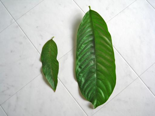 シャカトウの葉の比較