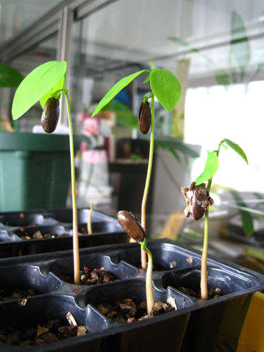 シャカトウの発芽