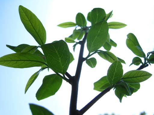 シャカトウの剪定・摘葉後の芽吹き