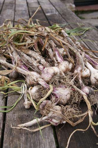 ニンニクを収穫しました~7月の畑_f0106597_1442350.jpg