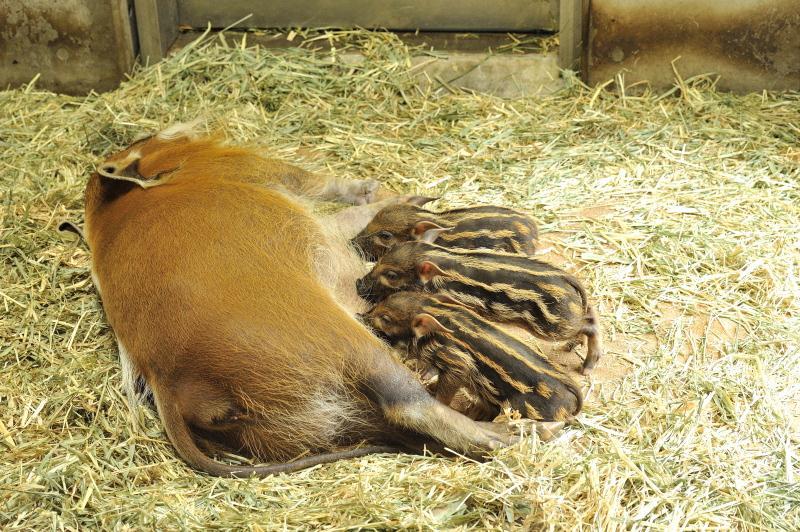 アカカワイノシシの赤ちゃん2