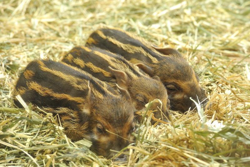 眠るアカカワイノシシの赤ちゃん