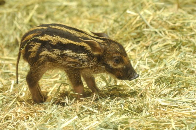 しっぽが長いアカカワイノシシの赤ちゃん