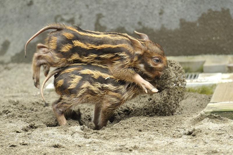 兄弟を飛び越えるアカカワイノシシの赤ちゃん