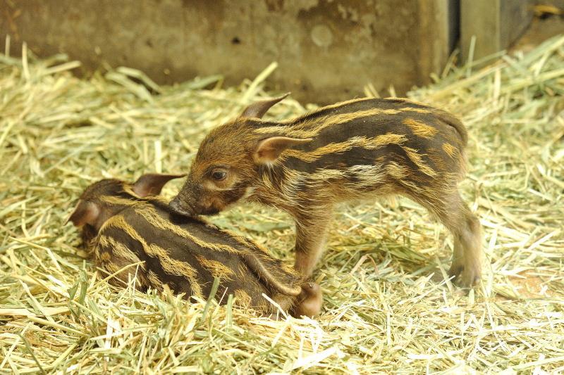 突っつき起こすアカカワイノシシの赤ちゃん