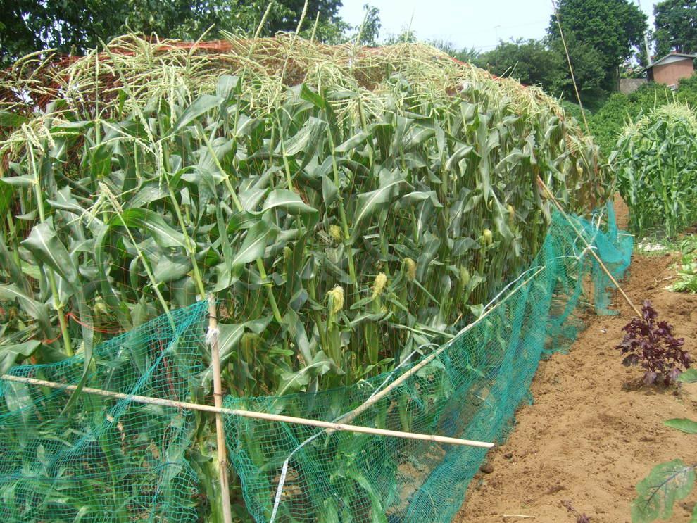 トウモロコシが成長....._b0137932_9325695.jpg