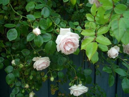 ピンクの野バラ_a0159707_093918.jpg