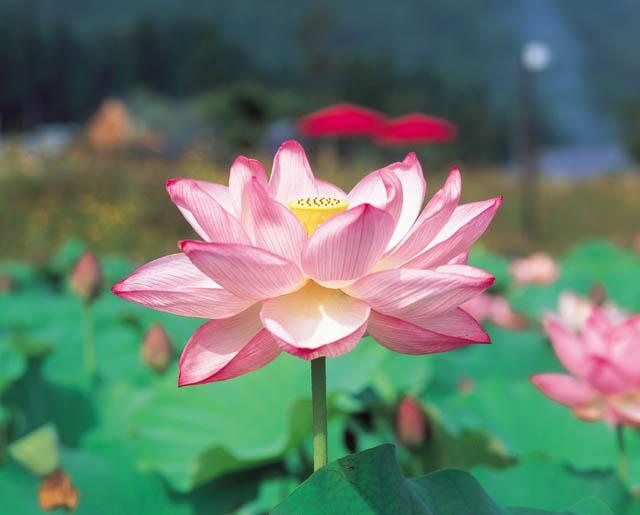 梅雨の一日、しっとりと蓮の花を(南越前町)_f0229508_12582664.jpg