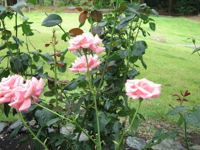 ♪想い出の日比谷公園★薔薇が咲いた!_d0162225_17482478.jpg