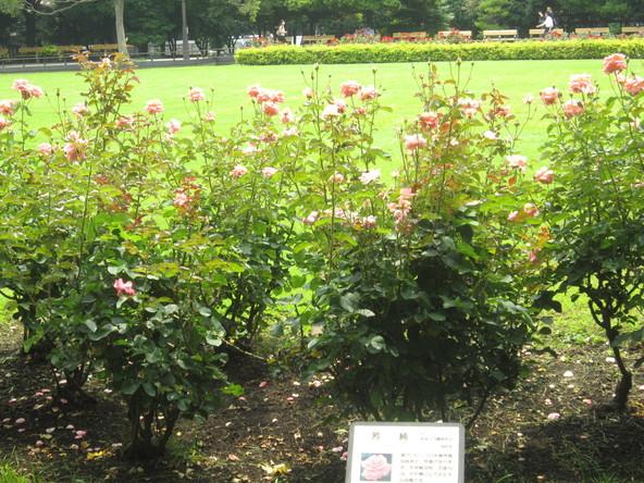 ♪想い出の日比谷公園★薔薇が咲いた!_d0162225_1753436.jpg