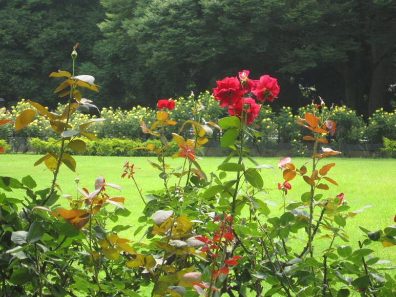 ♪想い出の日比谷公園★薔薇が咲いた!_d0162225_17563294.jpg