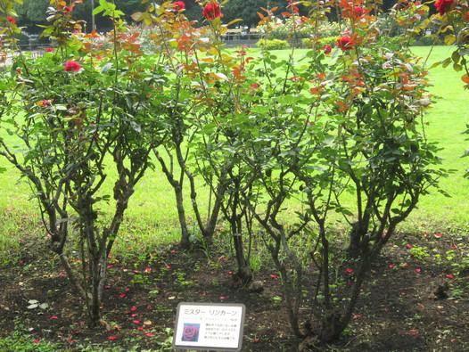 ♪想い出の日比谷公園★薔薇が咲いた!_d0162225_17573323.jpg