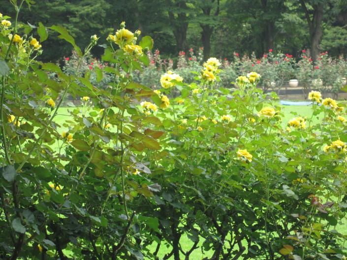 ♪想い出の日比谷公園★薔薇が咲いた!_d0162225_1758041.jpg