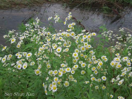 加茂川の花 梅雨どき_a0164068_22152427.jpg