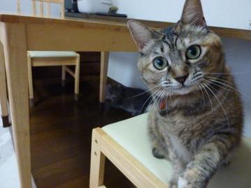 猫のお友だち ちぃちゃんあずきちゃんちょびくんまろくん編。_a0143140_2127037.jpg