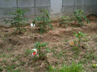 家庭菜園…駐車場にて♪_a0136859_1815677.jpg