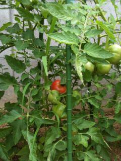 家庭菜園…駐車場にて♪_a0136859_1875354.jpg