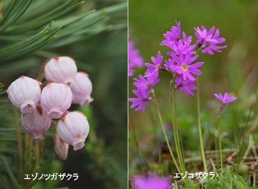 ギンザンマシコ ・ ビンズイ _c0070654_1394767.jpg