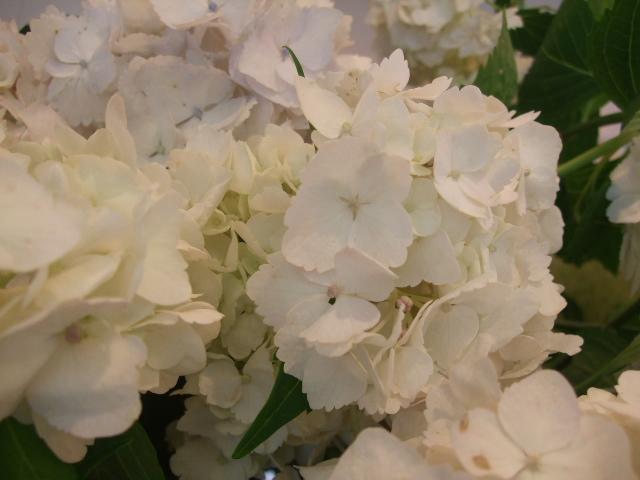 オークリーフ(紫陽花と実のもの)_f0049672_13451137.jpg