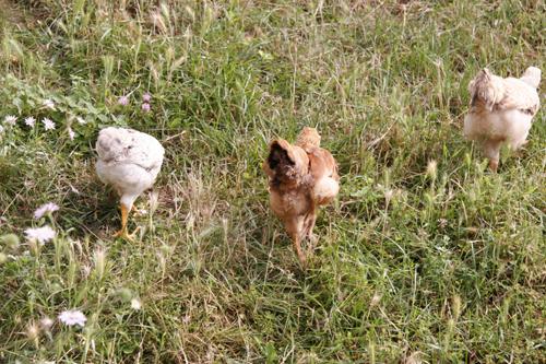 もう鶏と呼んでしまいましょうっ!2010_f0106597_2318932.jpg