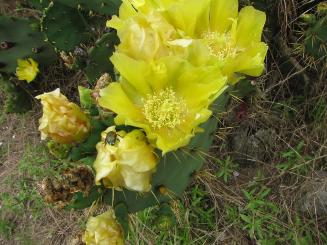 ウチワサボテンの花が咲きました_f0229750_1512452.jpg