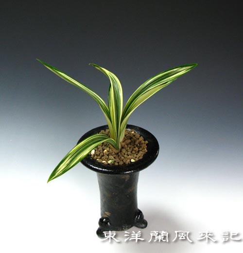 中国蘭恵蘭「達磨中斑」                 No.834_d0103457_051228.jpg
