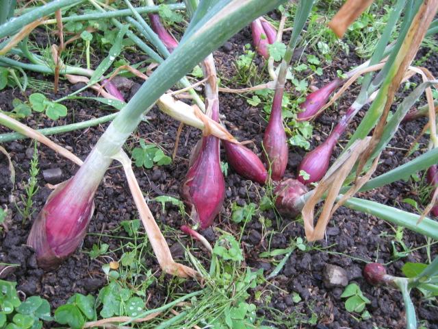 収穫~~_e0121558_21442999.jpg