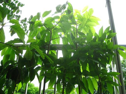 鉢植えシャカトウ