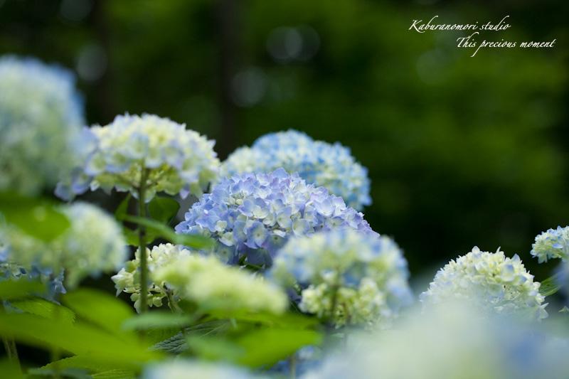 雨上がり咲き誇る大輪_c0137403_162416100.jpg