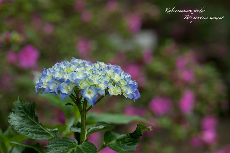 雨上がり咲き誇る大輪_c0137403_16281553.jpg