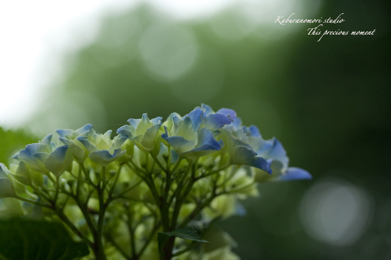 雨上がり咲き誇る大輪_c0137403_16332532.jpg