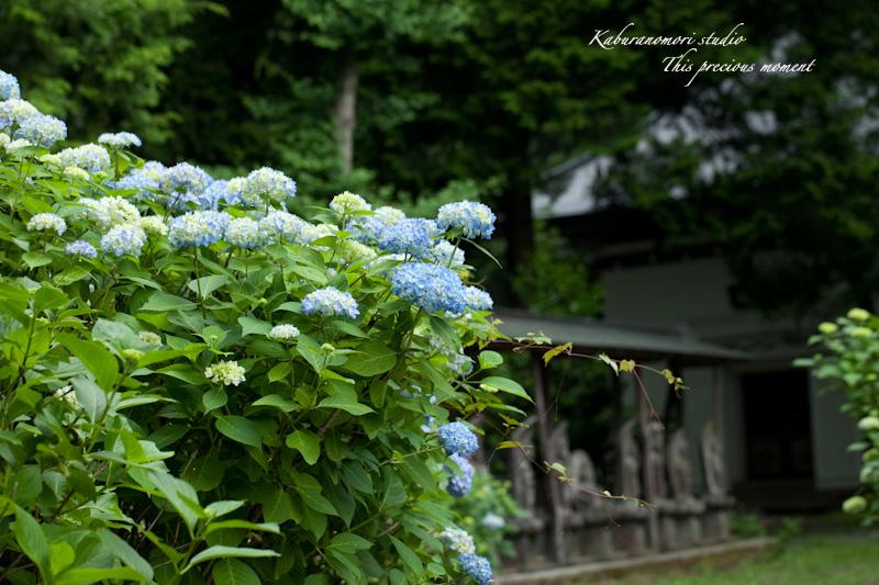雨上がり咲き誇る大輪_c0137403_16342562.jpg
