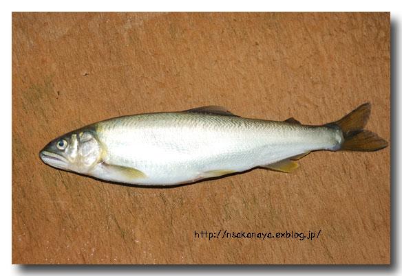川魚の背開き/捌き方 ............ 虹鱒や鮎・ヤマメやイワナなどの捌き方_d0069838_12203064.jpg