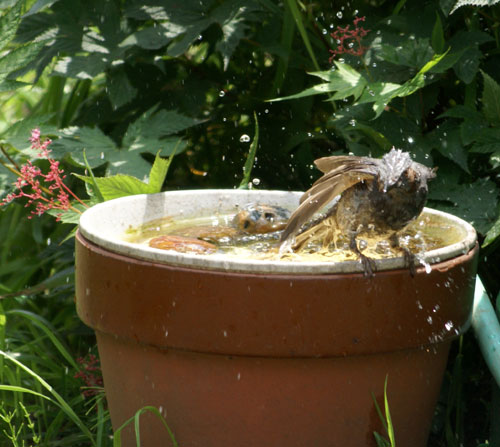 ヒヨドリの水浴びと雀の親子♪_a0136293_14325789.jpg