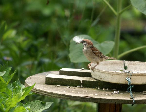 ヒヨドリの水浴びと雀の親子♪_a0136293_14351221.jpg