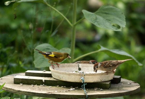 ヒヨドリの水浴びと雀の親子♪_a0136293_14385310.jpg