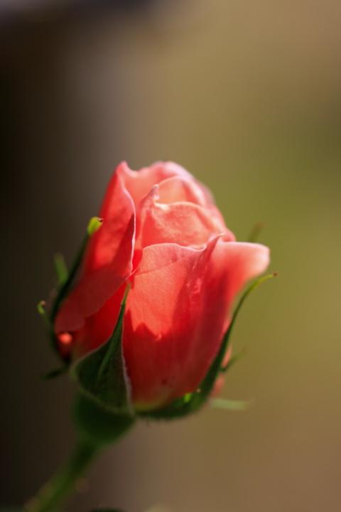 薔薇花_e0169421_17325352.jpg