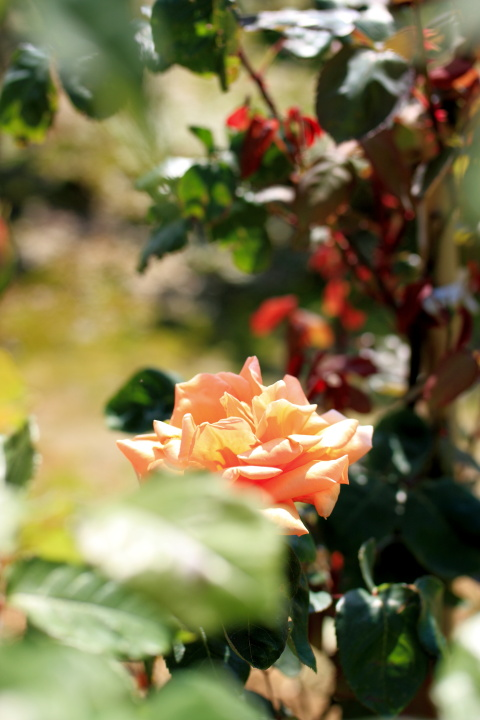 薔薇花_e0169421_17341694.jpg