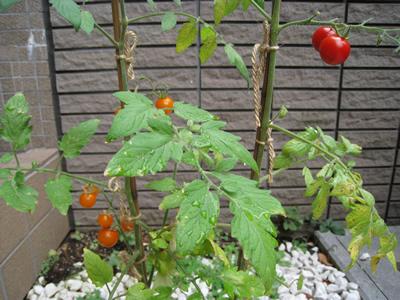 ミニトマト収穫。_a0143444_22155079.jpg