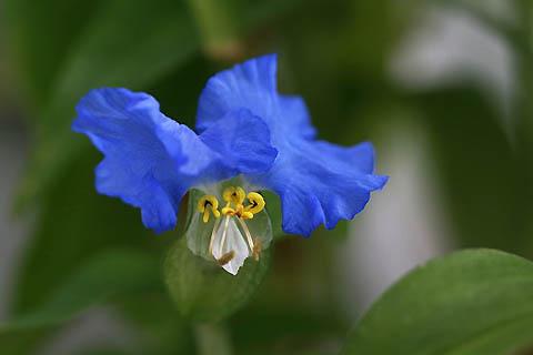 ベランダでの初咲き:オオボウシバナと、シラユキヒメ_f0030085_21202386.jpg