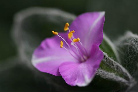 ベランダでの初咲き:オオボウシバナと、シラユキヒメ_f0030085_21244482.jpg