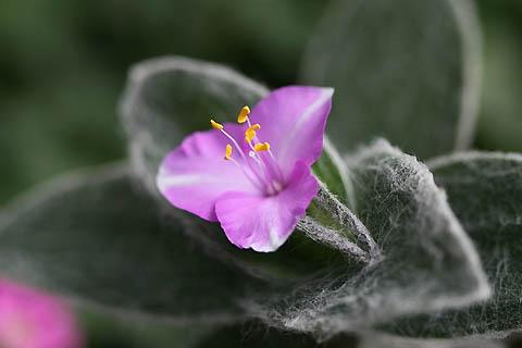 ベランダでの初咲き:オオボウシバナと、シラユキヒメ_f0030085_2125394.jpg